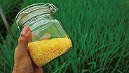 黄金大米无害?百余诺奖得主要求绿色和平停止反转基因