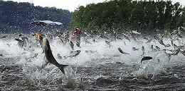 亚洲鲤鱼霸占美国水域 美科学家多种方法阻止入侵