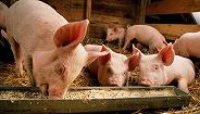农业乡村部:21个省分非洲猪瘟疫区已消除封闭