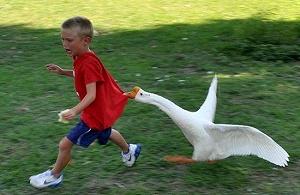 社会大鹅太可怕了