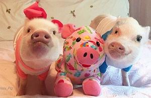 宠物猪,好惨一动物