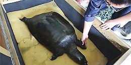 中国唯一雌性斑鳖人工授精后死亡,全球仅剩三只