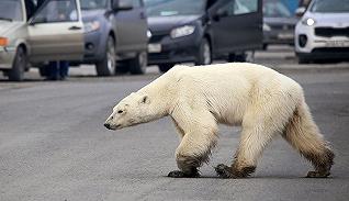 【一周環球掠影】熱浪來襲,北極熊都出走了……