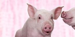 【深?#21462;?#39134;起来的猪
