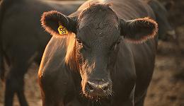 未来的肉:假如实行室能制出肉来,我们为什么还要畜牧和屠宰?