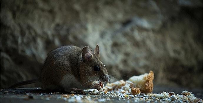 为了研究明白鼠疫,父亲和他的同事们以身犯险