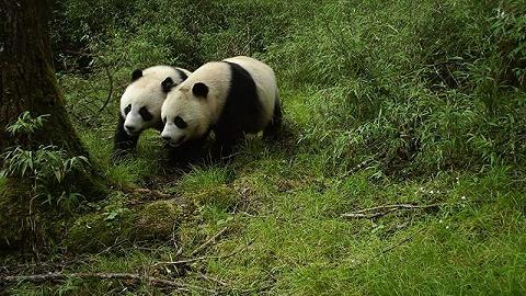 四川臥龍首次拍到野生大熊貓雙胞胎,iPhone 11或將支持第三方頻閃燈 | 一周影像資訊