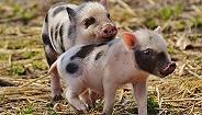 肉猪盈利水平大幅下降 温氏股份前三季度净利跌两成