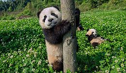 熊猫虽萌 拍它们可不是件易事