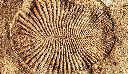 狄更逊水母是我们的祖先吗?科学家发现了已出土化石中最古老的动物