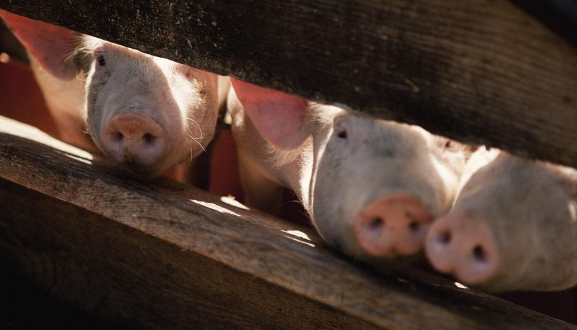 """没钱买饲料猪被饿死?养猪商雏鹰农牧巨亏引来业绩""""洗大澡""""质疑"""