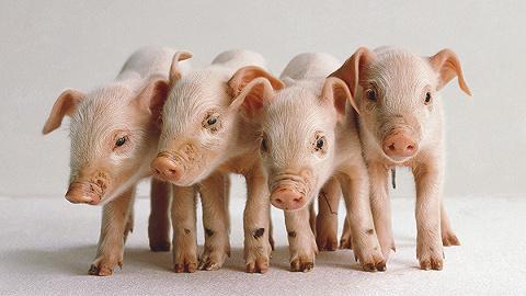 农业农村部解读非洲猪瘟疫情:防控具有复杂性、长期性