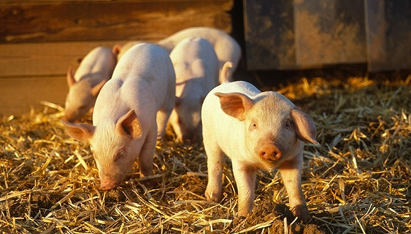 猪价回升带动养殖板块全线上扬,去年亏损的雏鹰农牧、新五丰都涨停了