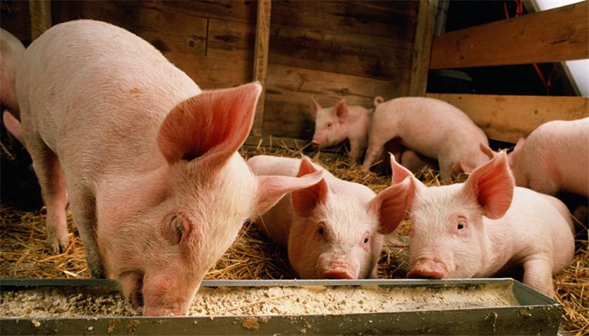 猪周期风口下猪概念股起飞,业绩与股价背离,小心风会停