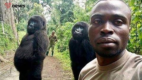 刚果大猩猩与护林员合影,模仿人类pose惟妙惟肖