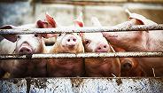 猪价上涨?#29575;?#32929;份频获调研,猪场总产能达3500万头
