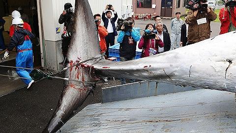 每一条鲸鱼都期望活着游出日本海