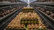 """养殖公司别高兴太早!高成本推高鸡蛋价格,明年或遇养殖""""拐点"""""""
