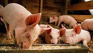 """起底生猪险骗保黑链:一头猪""""死三遍"""",一头猪没养获赔近百万"""