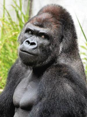 这只大猩猩其实是个超级网红——他是目前在日本名古屋东山动植物园的大猩猩Shabani(シャバーニ)