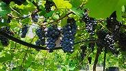 上交大引种栽培抗病性最强葡萄品种,示范推广面积已达5000余亩