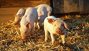 直通部委|农业农村部:猪肉自给率保持95%实行省负总责 市监总局:中国共有国家标准超3.6万项