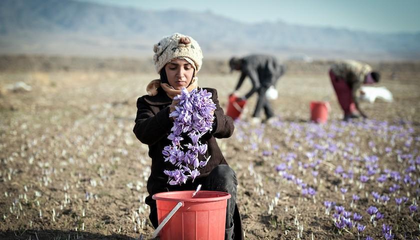 """【特写】从花田到进博会,想与中国""""共享未来""""的伊朗藏红花商图2"""