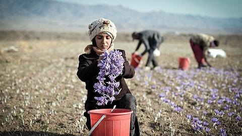 """【特写】从花田到进博会,想与中国""""共享未来""""的伊朗藏红花商"""
