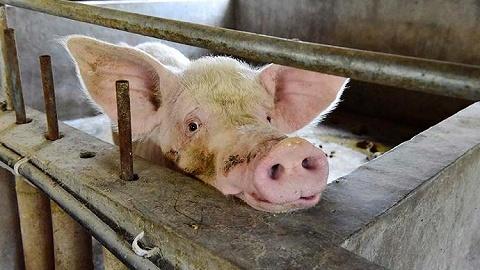 江苏沭阳县在外省违规调入生猪中排查出非洲猪瘟疫情