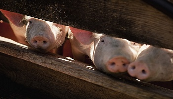 5月生猪产业发展指数回归标准区间,本轮猪周期拐点或将到来