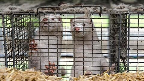 丹麦叫停水貂扑杀因缺乏法律依据,最大貂皮生产国何去何从?