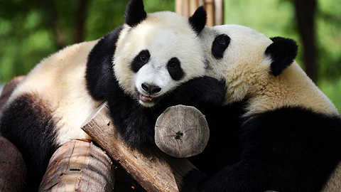 秦岭大熊猫野外种群增幅为全国第一