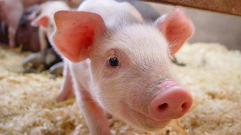 直通部委 | 我国将建生猪全产业链信息权威发布制度 工信部:工业生产已恢复到疫前水平