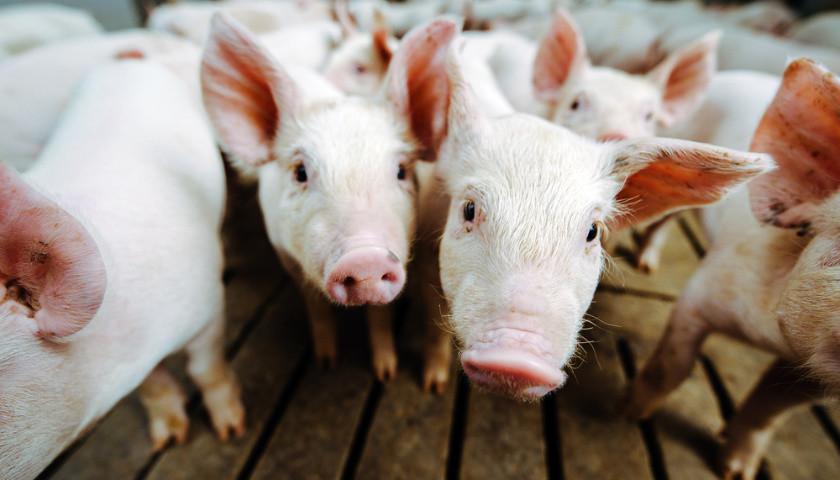 欧亿3平台注册养猪新军新农科技冲主板:拟募资中2/3用于补流,孙公司曾发生1死2伤事故