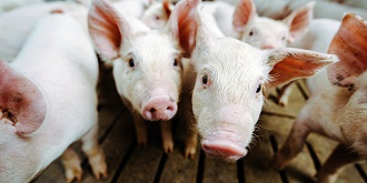 養豬新軍新農科技沖主板:擬募資中2/3用于補流,孫公司曾發生1死2傷事故