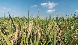 国务院再提粮食安全,强调通过科技力量补短板