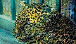 """""""瞒豹""""背后,国内动物园的管理之殇"""