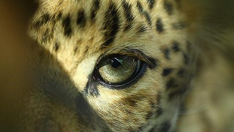 从东北老虎、杭州豹子到长江江豚:过度害怕和过度轻视都因我们不了解动物 | 专访