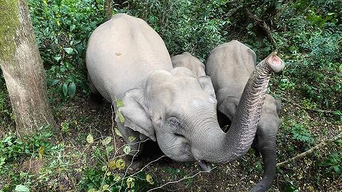 野象群持续在昆明市晋宁区活动,当地已投喂3.6吨食物