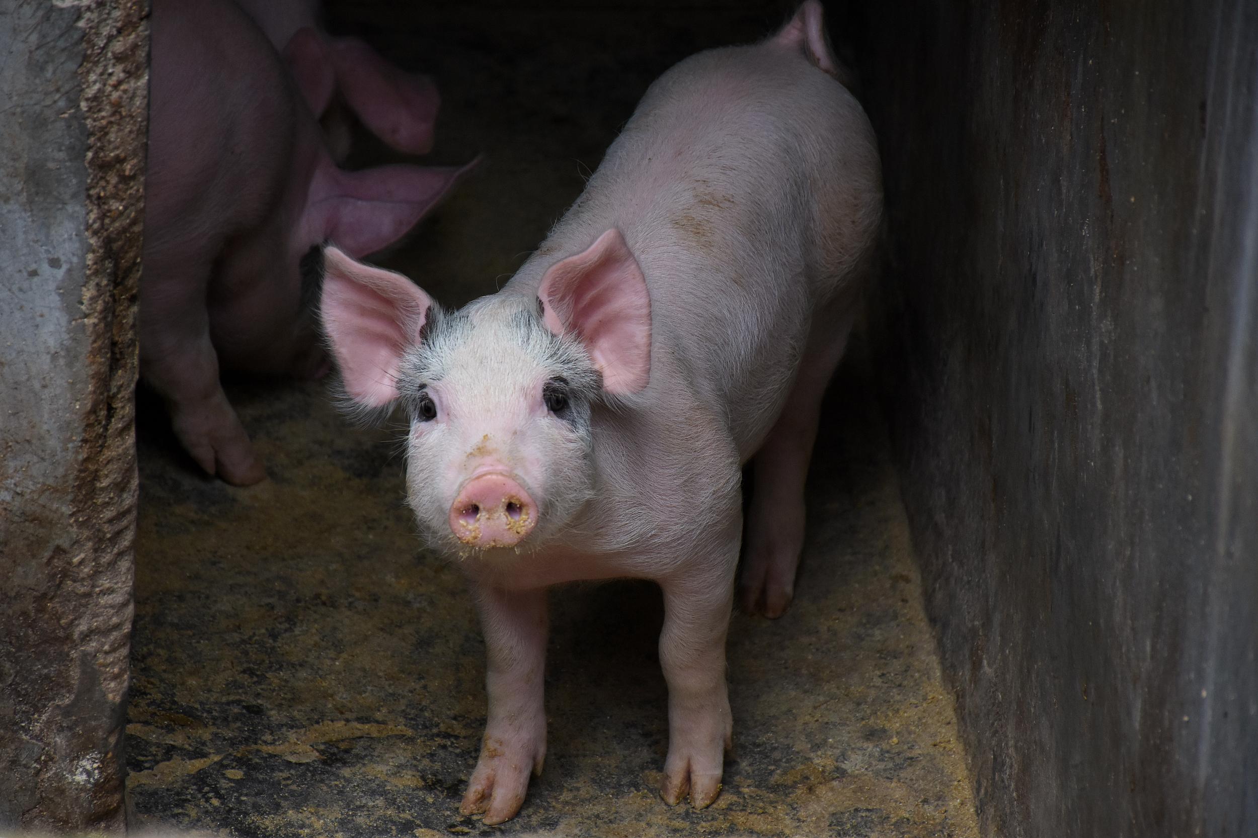 凤凰城招商主管958337猪价下跌、养猪亏本,发改委调整生猪市场预警方案