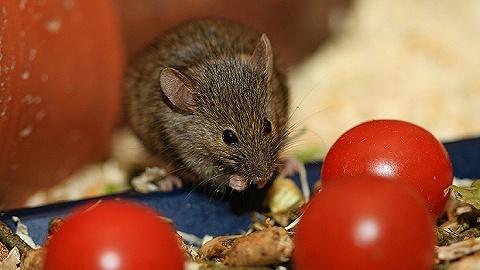 研究显示中国科研人员成功让雄鼠生子,属全球首次