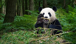 直通部委 | 大熊猫野外种群数量达1800多只 猪肉价格2月下旬以来首次回升