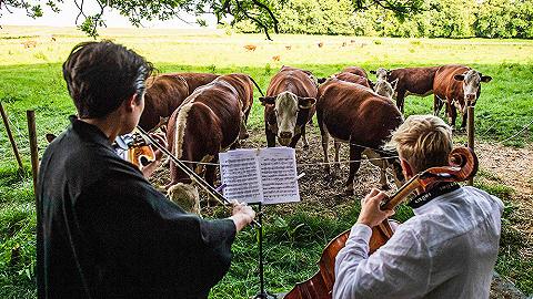 """每周奇趣掠影   丹麦音乐家""""对牛弹琴"""";面部扫描或可成为新冠检测的新技术"""