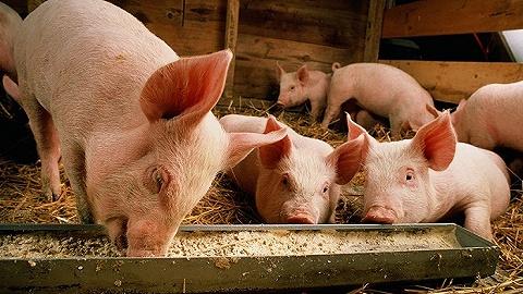暴雨中的河南养殖户,大企业未受影响,小猪场忙着找电