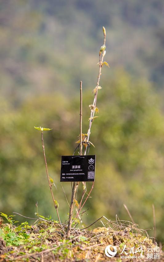 华信娱乐代理云南:20余种极小种群野生植物得到有效保护